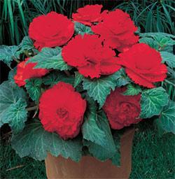 Red Ruffled Begonia - 3 tubers