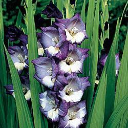 Midnight Moonlight Gladiolus