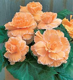 Apricot Picotee Lace Begonia - 3 tubers