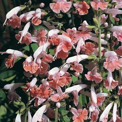 Salvia coccinea 'Cherry Blossom'