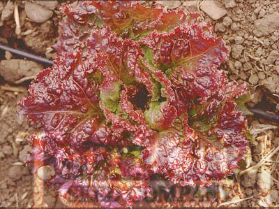 New Red Fire Lettuce Conventional & Organic