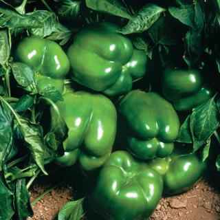 Pepper North Star Hybrid