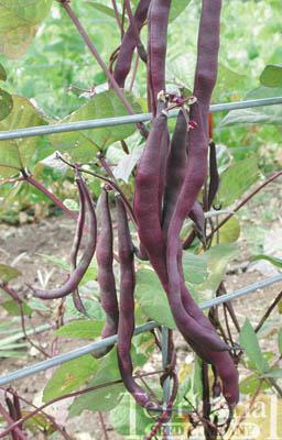 Violet Podded Stringless Bean