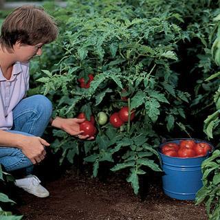 Better Bush Improved Hybrid Tomato Plant