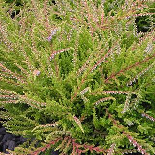 'Blazeaway' Calluna vulgaris Scotch Heather Shrub