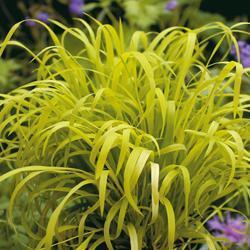 Grasses Millium effusum 'Aureum'