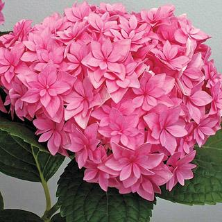 Hydrangea Double Delights™ Perfection