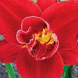 Fire of Fuji Reblooming Double Daylily