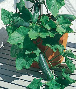 Cucumber, Spacemaster