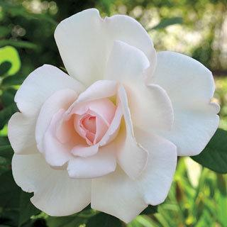 Clouds of Glory White Hybrid Tea Rose