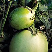 Italian White Eggplant