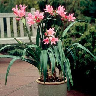 X Amarcrinum Howardii Bulbs