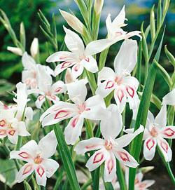 Nymph Hardy Gladiolus - 5 bulbs