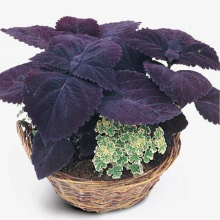 Coleus Giant Exhibition Palisandra