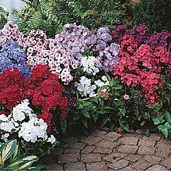 Breck's Tall Phlox Collection