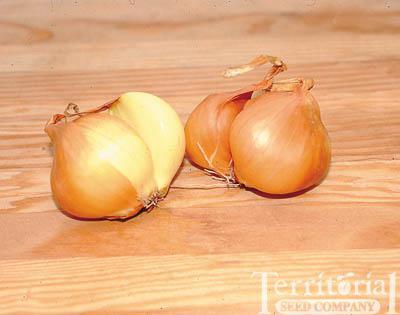 Bonilla Shallot Seed