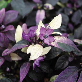 Ornamental Pepper Purple Flash