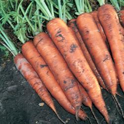 Carrot Mignon