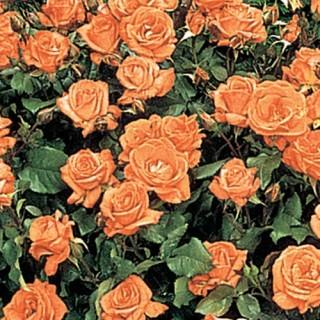 Apricot Princess Rose