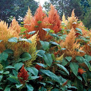 Amaranthus 'Autumn's Touch'