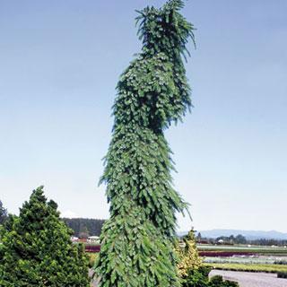 Pendula Bruns Picea omorika Weeping Serbian Spruce Tree