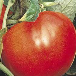 Celebrity (VFFNT) Hybrid Tomato