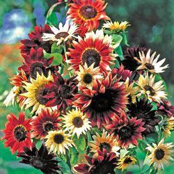 Bohemian Rhapsody Mix Sunflowers Reviews Seedratings Com