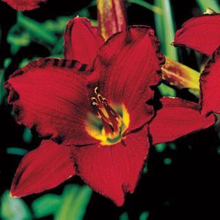 Red Pinocchio Hemerocallis Daylily Plant