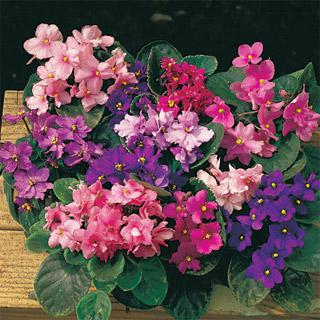 African Violet Fantasy Hybrids