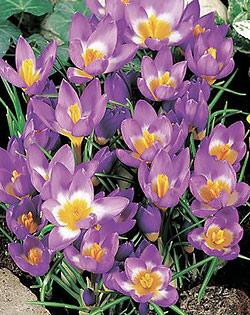 SOLD OUT Tri-Color Species Crocus - 10 bulbs