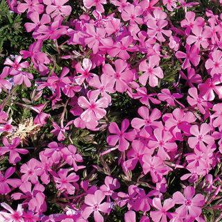 Drummond's Pink Phlox Plant