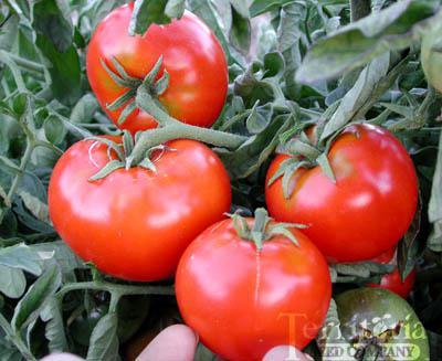 Santiam Tomato