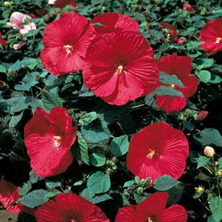 Hibiscus Disco Belle Rosy Red Hybrid
