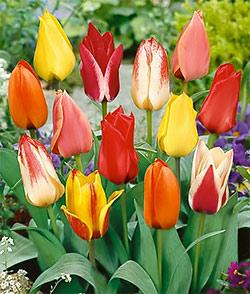 SOLD OUT Mixed Greigii Tulips - 10 bulbs