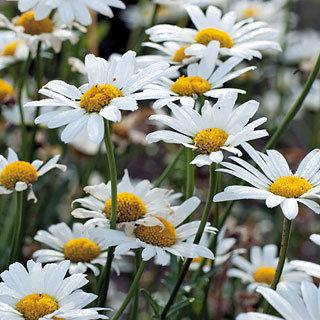 Shasta Daisy 'White Breeze'