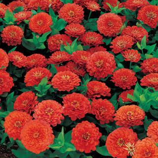 Zinnia Dreamland Coral Hybrid