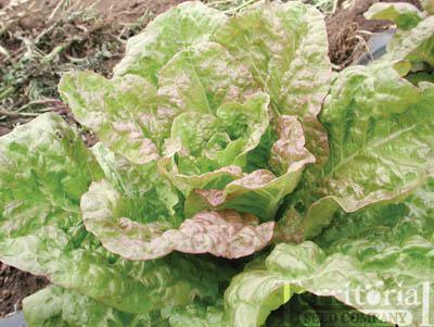 De Morges Braun Lettuce Organic