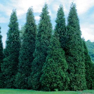 Green Giant Thuja Arborvitae Tree