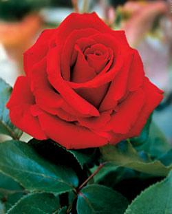 Chrysler Imperial Hybrid Tea Rose - 1 bare root plant