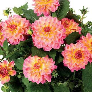 Hypnotica® Rose Bicolor Dahlinova Dahlia Plant