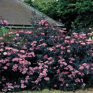Elderberry 'Black Beauty'