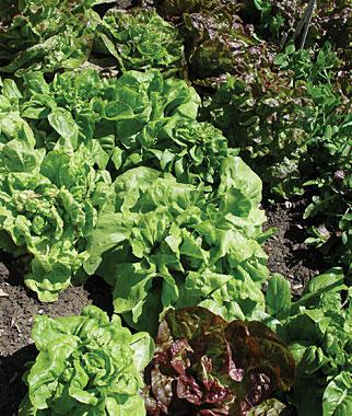 Lettuce, All Season Butterhead Mix