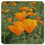 Organic California Orange Poppy