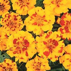 Marigold - Durango Bolero