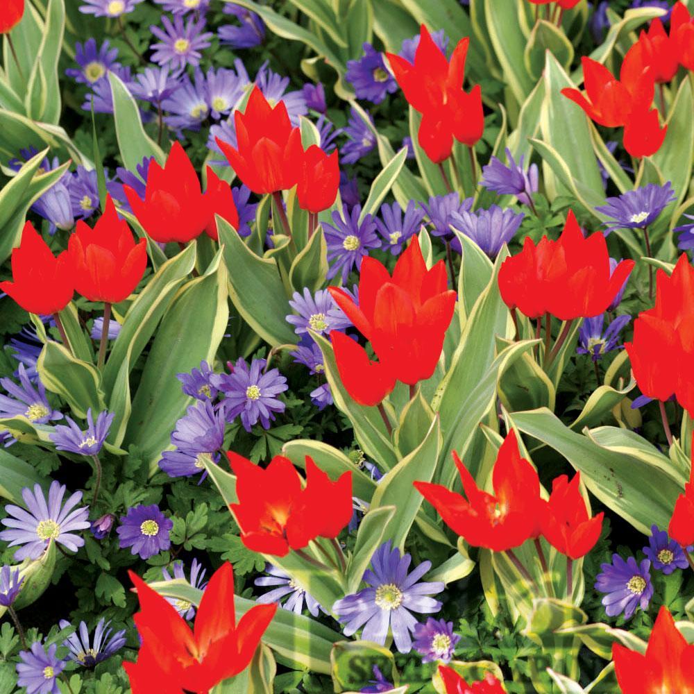 Tulip-Unicum