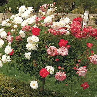 Moonstone and Olympiad 36-inch Tree Rose