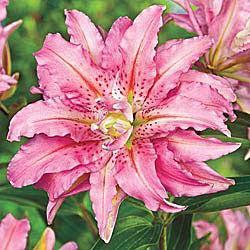 Broken Heart Double Oriental Lily