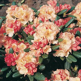 Rimini Rhododendron Shrub