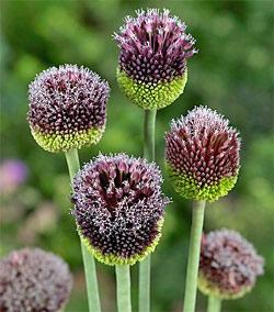 SOLD OUT Forelock Allium - 1 bulb