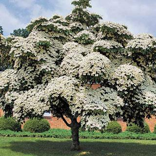 Milky Way Cornus kousa var. chinensis Dogwood Tree